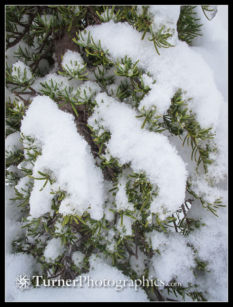 Snow on mountain hemlock foliage