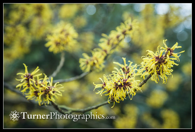 Chinese Witch Hazel blossoms