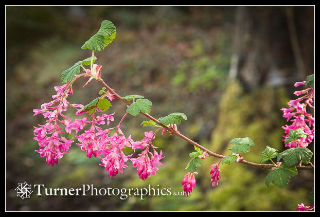 Red-flowering Currant blossoms