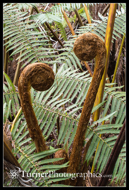 Hawaiian Tree Fern