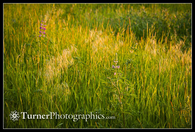 Tufted Hairgrass, Meadow Barley
