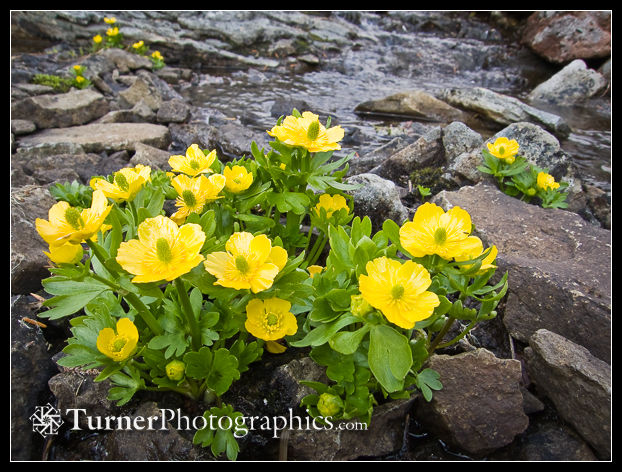 Snowpatch Buttercups