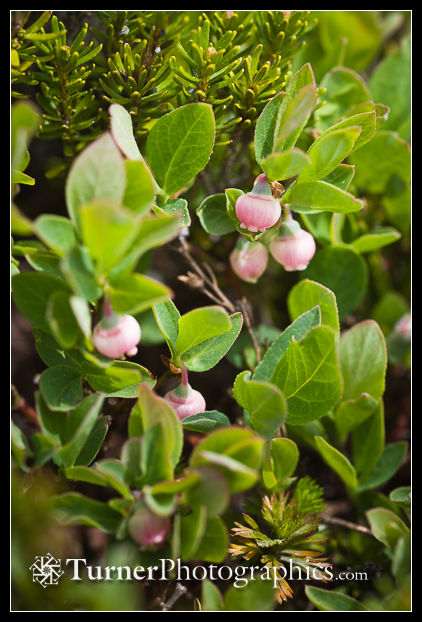 Cascade Blueberry blossoms