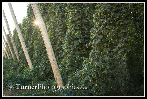 'Mosaic' Hops ready to harvest
