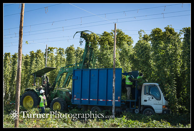 Top cutter drops hops bines into truck during 'Mosaic' Hops harvest