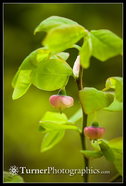 Oval-leaf Huckleberry blossoms and foliage.