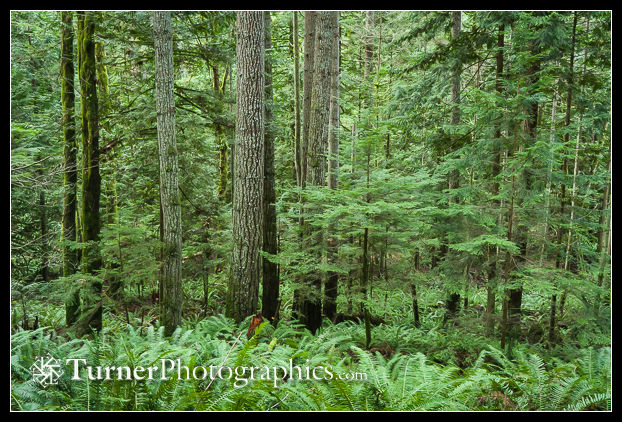 Douglas-fir and Western Hemlock forest w/ Sword Fern understory