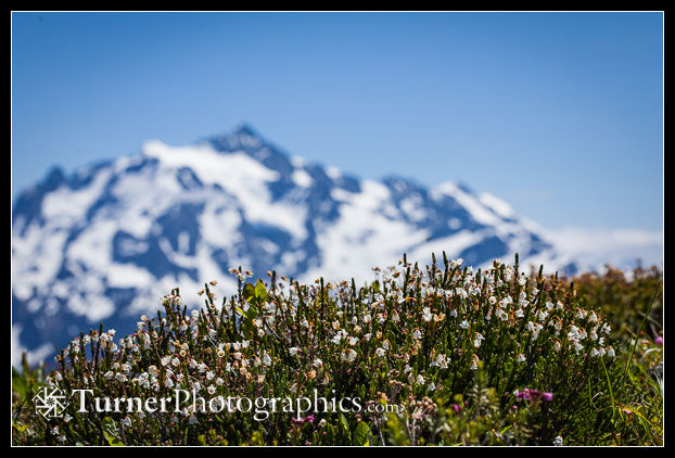 White heather with Mt. Shuksan