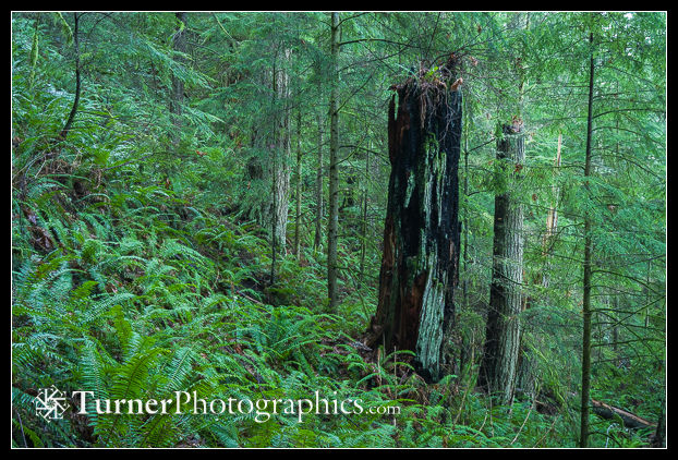 Burned tree trunk among Western Hemlocks & Sword Ferns