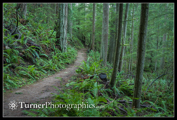 Trail through conifers