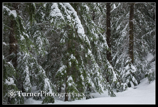 Snow-covered Mountain Hemlock boughs