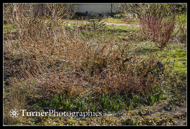 Early spring native shrub & perennial garden
