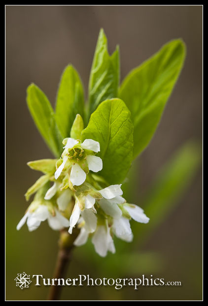 Osoberry blossoms