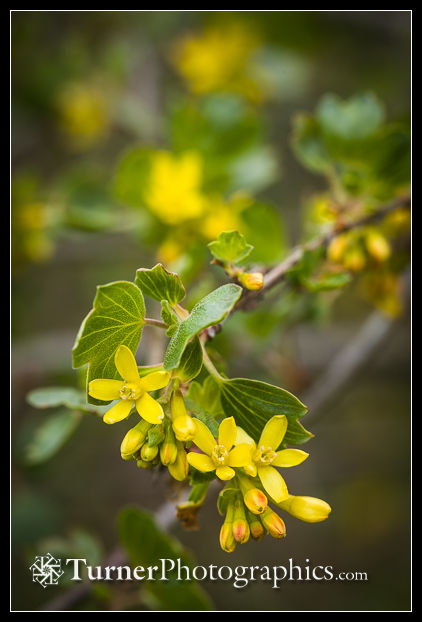Golden Currant blossoms