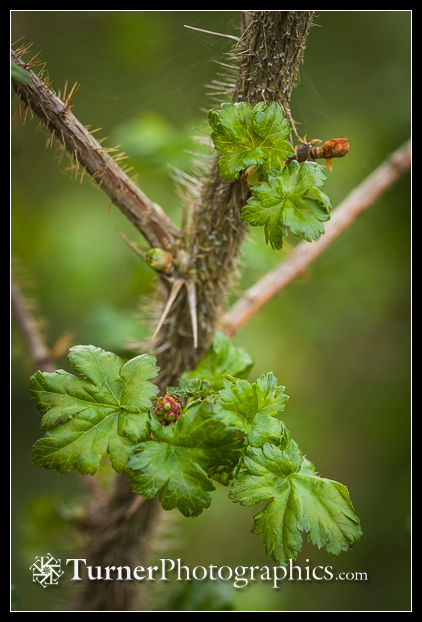 Prickly Currant flower buds