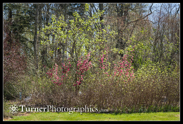 Red-flowering Currant, Red Elderberry at woodland edge