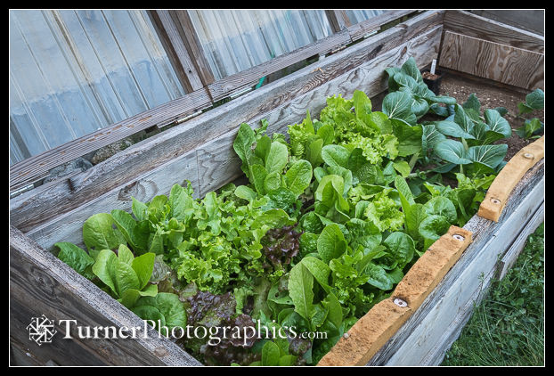Spring lettuce in open cold frame