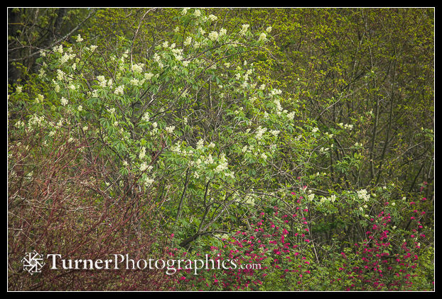Red Elderberry blooming above Red-flowering Currant
