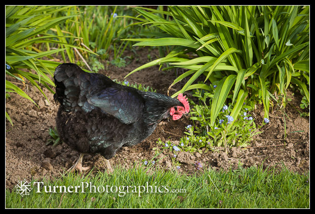 Chicken at edge of perennial bed