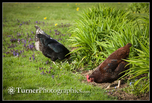 Chickens foraging in lawn