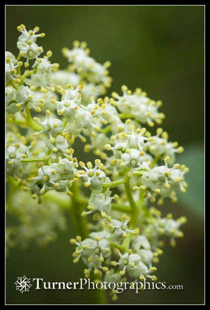 Red Elderberry blossoms detail