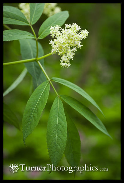 Red Elderberry blossoms and foliage