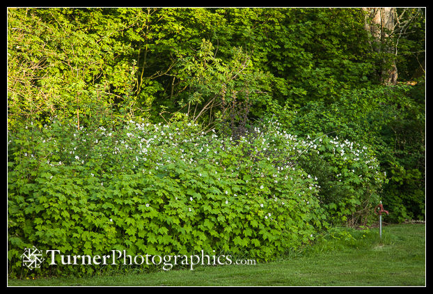 Thimbleberries in woodland border