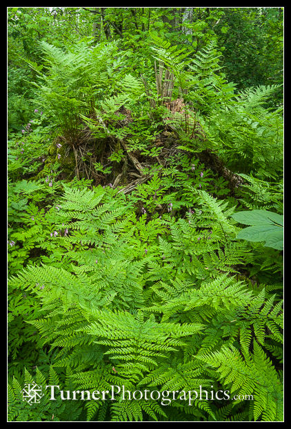 Spreading Wood Ferns