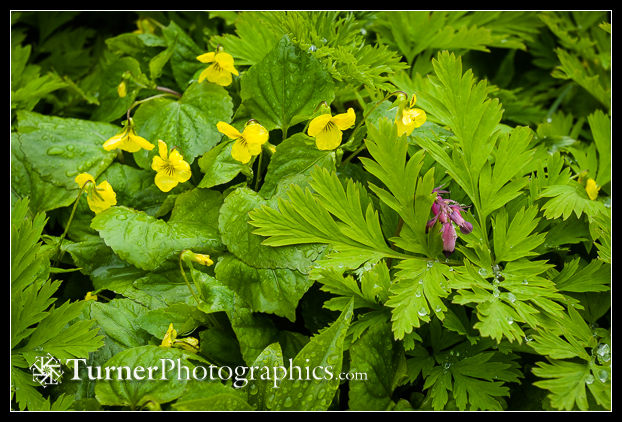 Smooth Yellow Violets with Pacific Bleeding Heart