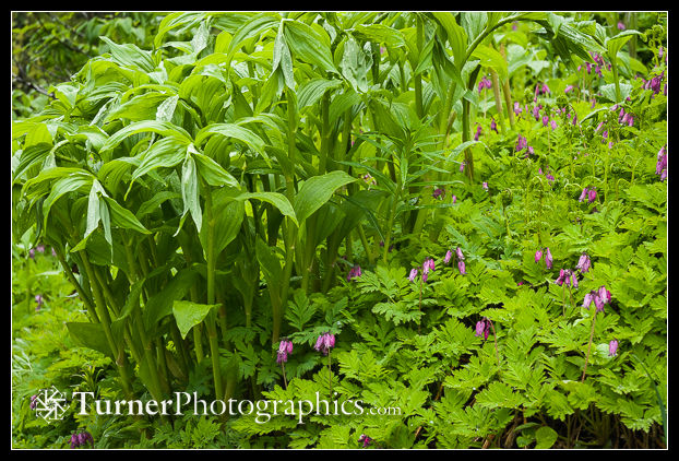 Pacific Bleeding Heart with False Solomon's Seal foliage