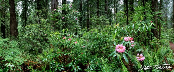 9707611 Pacific Rhododendron blooming under Coast Redwoods in rain [Sequoia sempervirens; Rhododendron macrophyllum]. Del Norte Coast Redwoods SP, CA. © Mark Turner