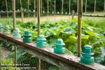0813298 Glass insulators as decoration on vegetable garden fence w/ bamboo poles as deer deterrant. Crump, Bellingham, WA. © Mark Turner