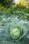 0813420 Cabbage in vegetable garden [Brassica oleracea var. capitata]. Smith, Everson, WA. © Mark Turner