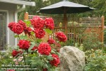 0813482 Red Roses w/ large boulder, decorative fence & shade umbrella bkgnd [Rosa cv.]. Serfoso, Everson, WA. © Mark Turner