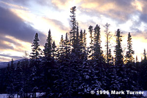 Sunset sky over spruce forest